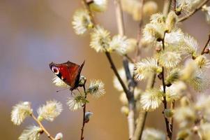 Frühling. Schmetterling auf einer Weide. foto
