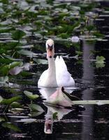 eleganter weißer männlicher Höckerschwan