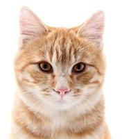 rotes Katzenporträt auf weißem Hintergrund