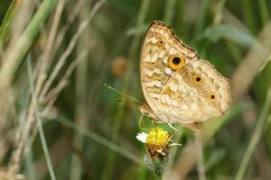 Stiefmütterchen Pfau Schmetterling auf Blume foto