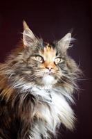 Maine Coon Katze foto
