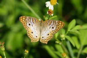 offener geflügelter weißer Pfauenschmetterling foto
