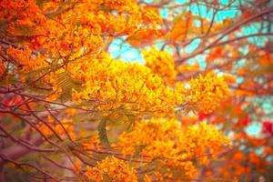 Flam-Boyant-Blumenhintergrund