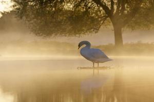 Höckerschwan bei Sonnenaufgang foto