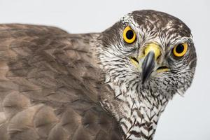 Züchter Falke foto