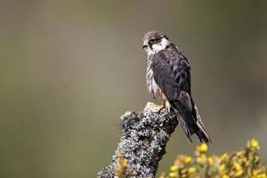 Hobby, Falco Subbuteo foto