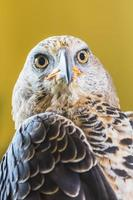 Adler gekrönt (Stepphanoaetus coronatus)