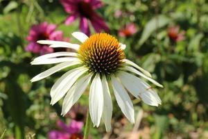 """weiße Echinacea - """"weiße Sonnenhut"""" - Echinacea purpurea weißer Schwan foto"""