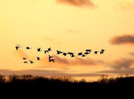 Kanadische Gänse fliegen in den Sonnenuntergang