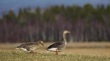 graugans - greylag - graylag goose - anser antwort foto