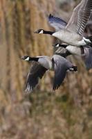 Kanadagänse fliegen über den Herbstwald foto