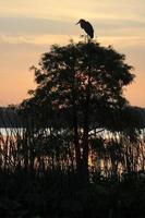 Silhouette des Graureihers auf Zypressenbaum bei Sonnenaufgang