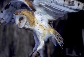 Vogel-Schleiereule foto