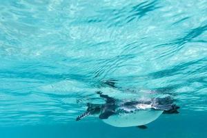 Galapagos-Pinguin, der unter Wasser schwimmt. Galagapos, Ecuador foto