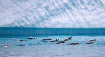 Eselspinguine, die in antarktischen Gewässern schwimmen