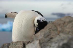 niedliche Nahaufnahme des Kinnriemenpinguins (pygoscelis antarctica) foto