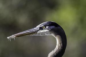 Blue Heron Profil