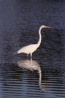 weißer Kran in Wellenreflexion foto