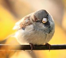Spatz auf einem Ast des Herbstes foto