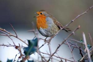 Rotkehlchen in einem Dornbusch singen, welwyn hertfordshire