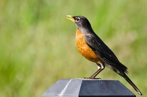 American Robin singt, während er auf einem Hinterhoflicht sitzt foto