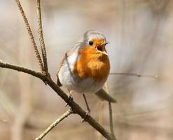 Rotkehlchen singen foto