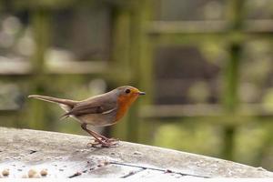 Rotkehlchenvogel foto