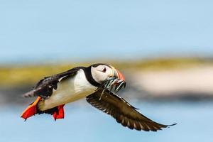 Atlantischer Papageientaucher, der von einem Angelausflug zurückkehrt foto