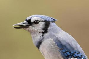 Happy Blue Jay foto