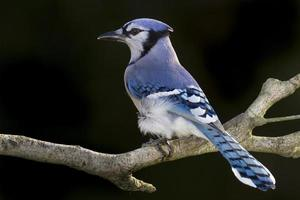 Blue Jay 6 foto