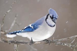 Schnee Jay foto