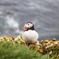 Papageientaucher in Island foto