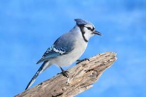 Blue Jay auf einem Baumstumpf foto