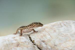 Gecko-Eidechse auf Felsen foto