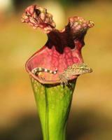 Baby Gecko foto