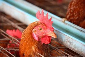 Eier Hühnerfarm foto