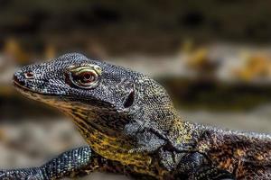 Baby-Komodo-Drache gegen einen unscharfen Wüstenhintergrund foto