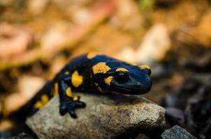 Salamander foto