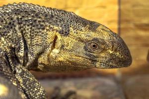 fantastisches Nahaufnahmeporträt des tropischen Leguans. selektiver Fokus, foto