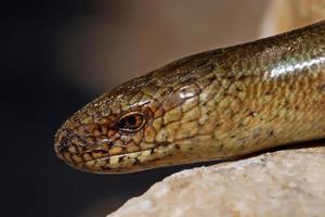langsamer Wurm Anguis Colchica auf Kalkfelsen. foto