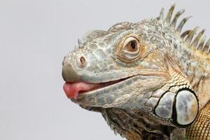 Nahaufnahme grüner Leguan, der Zunge auf Weiß zeigt foto