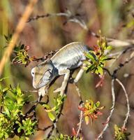 winziges Chamäleon, Madagaskar foto
