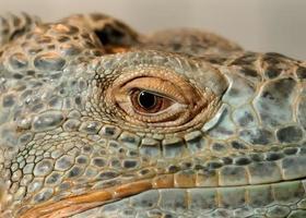Auge des Leguans foto
