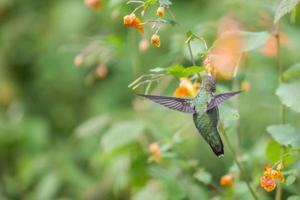 Colibri à Gorge Rubis Femelle foto