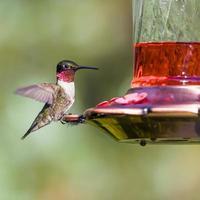 Kolibri thront auf rotem Futterautomat foto