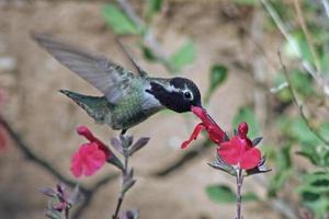 männlicher Annas Kolibri (Calypte Anna) foto