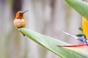 annas Kolibri auf Paradiesvogelblume foto
