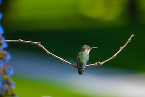 Kolibri im Flug auf einer Blume foto