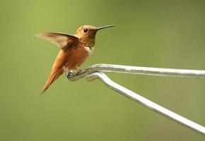 Rufous Kolibri Männchen (Selasphorus Rufus) foto