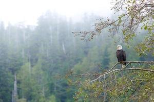 Adler foto